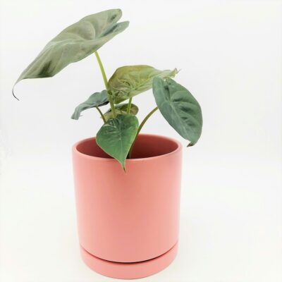 plant in pink big pot